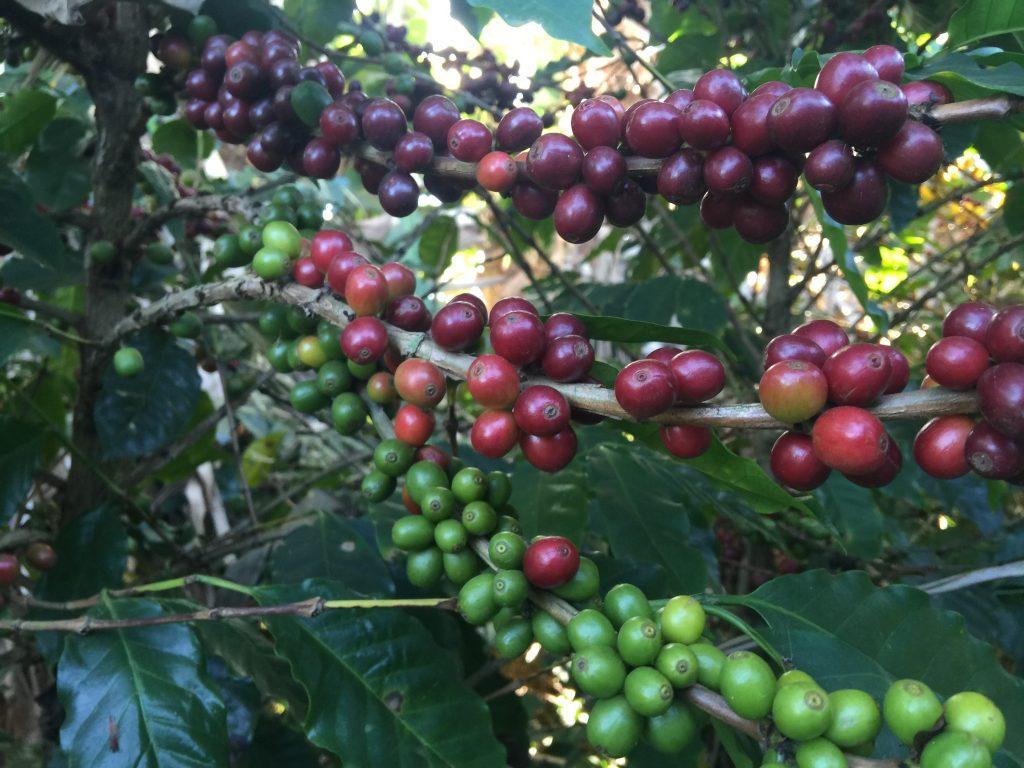 Coffee beans, Trippin with Tara