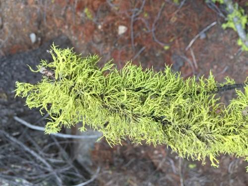 Wolf Lichen
