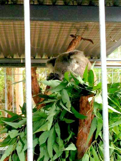Australia Koala Gabi Salinas